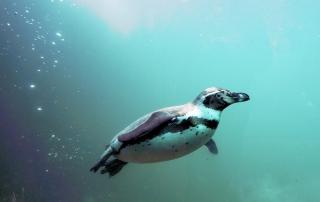 Douglas, the African Penguin
