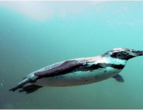 Douglas the African Penguin Update